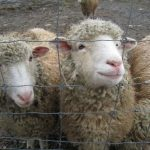 Cust.LianeMartin.sheep closeup
