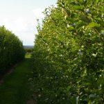 apple tree 3