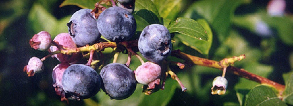 Blueberries_HomeSlideLarge