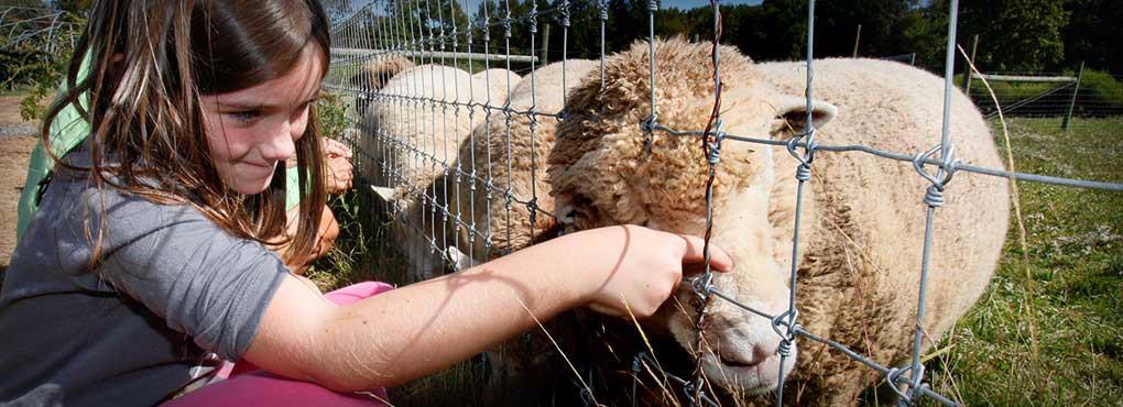 Petting_Sheep