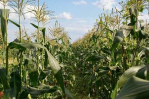 corn in field