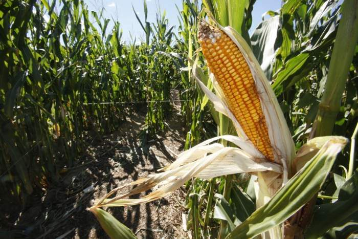 Genes and Things - On Growing Indian Corn - Terhune Orchards