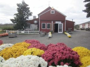 farm store mums store