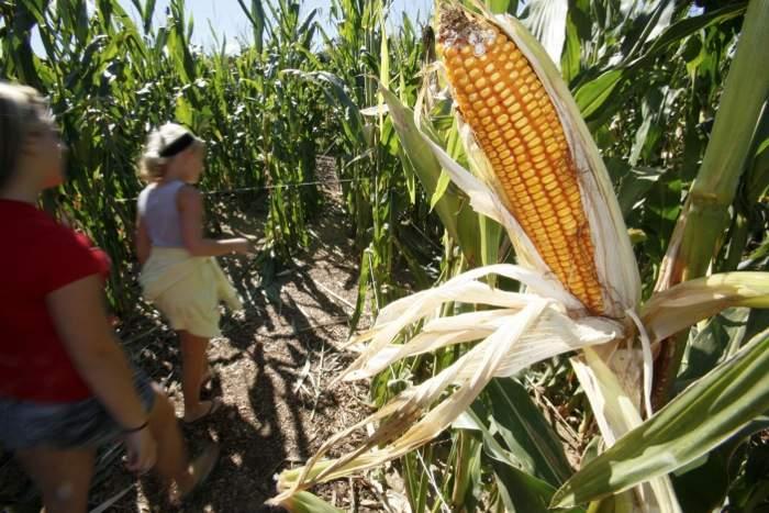 kids visit corn maze