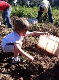 Becket picking potatoes