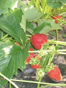 strawberries vine