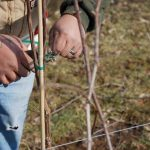 vineyard pruning