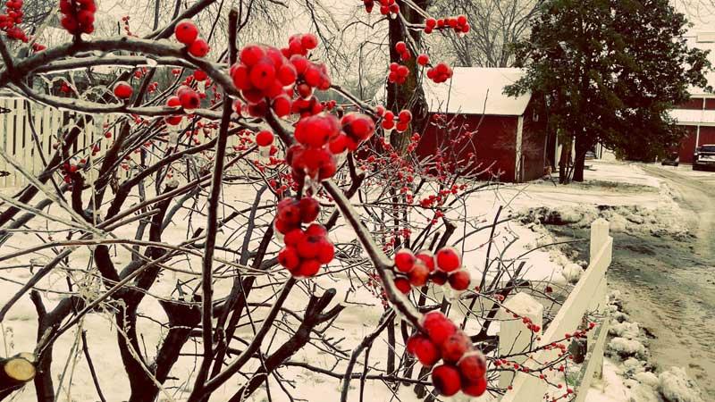 winter trees red berries