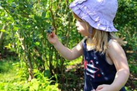 little girl blueberry picking