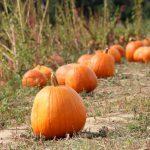 pumpkins in patch