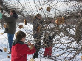 wassail apple trees