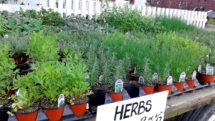 Herb Potted Organic- Six-Pack (Save 5%!)