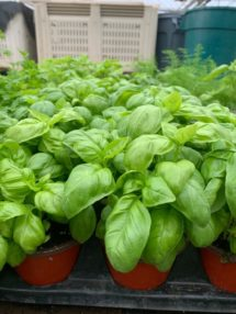 Potted Organic Herb - Basil