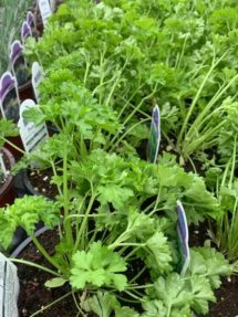 Potted Organic Herb - Parsley Curly