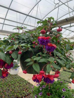 Hanging Basket - Fuchsia