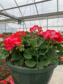 Hanging Basket - Geranium (red. rose, coral)