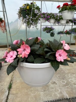 Hanging Basket - Impatiens (pink)