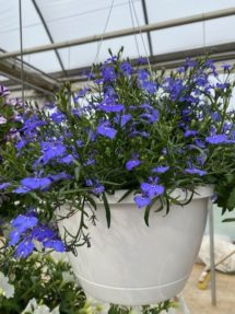 Hanging Basket - Lobelia (blue)