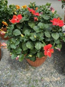Hibiscus X-Large (11-gallon)