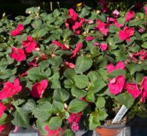 Impatiens (red, pink, white, red/white, coral) 4 inch