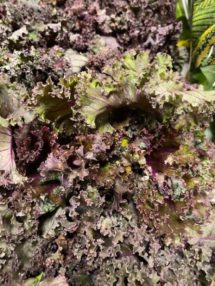 Kale - Red organic Terhune own