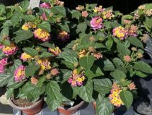 Lantana    (red, yellow or pink)     ( 4 or 6 inch pot)