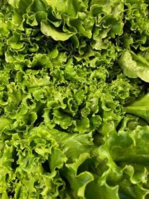 Lettuce - Green Leaf Organic Terhune's own
