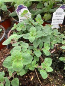 Potted Organic Herb - Oregano