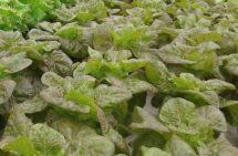 Lettuce - Red Boston organic Terhune own