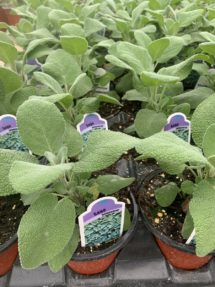 Potted Organic Herb -  Sage