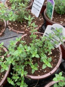 Potted Organic Herb - Thyme
