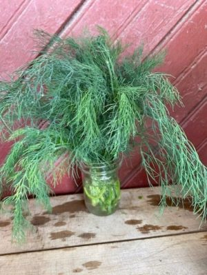 herb dill