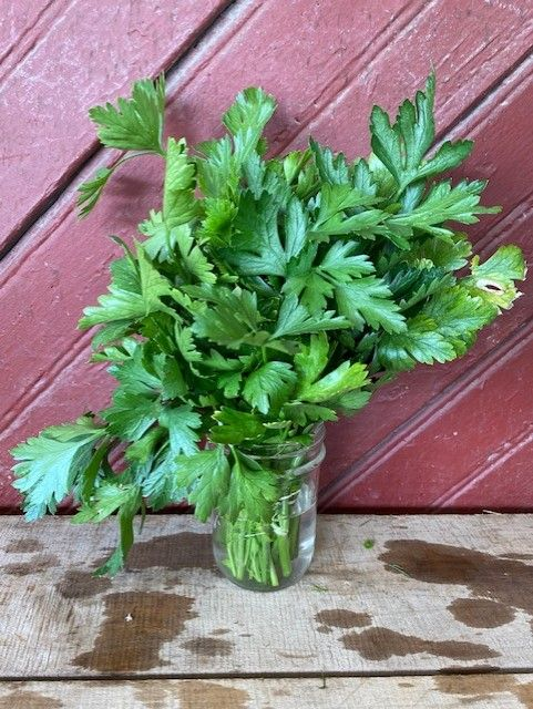herb flat parsley