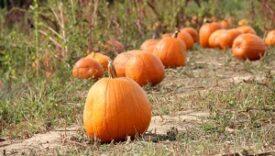 home_pumpkin-patch