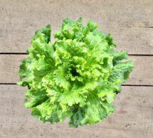 lettuce pot green leaf