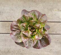 lettuce pot red boston