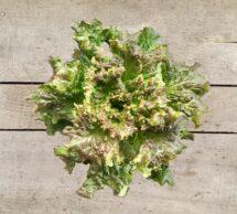 lettuce pot red leaf