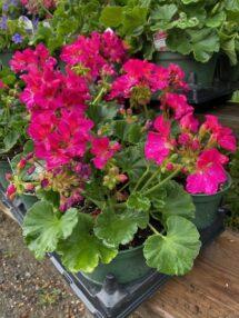 geraniums pink