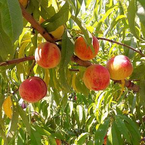 Just Peachy Festival