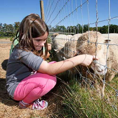 Petting Sheep